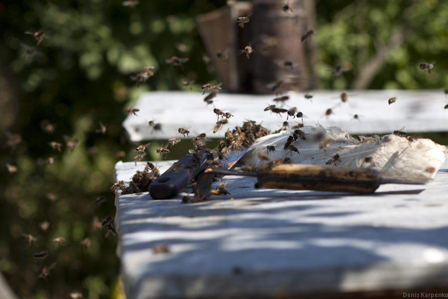 Пчелы летают над принадлежностями, используемыми для работы с ульем. Пчелы переносят весь оставшийся мед на инструментах оборатно в улей.