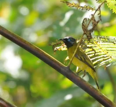 Black-headed Bulbul (Pycnonotus atriceps)