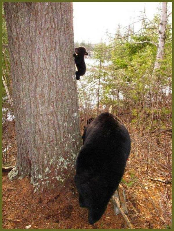 Baby bear first climbing lesson, cute baby bear picture