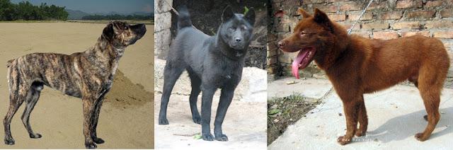 Ngoại hình của chó H'mông  đặc trưng với vẻ chắc nịch, đầy cơ bắp và chiếc đuôi cụt.