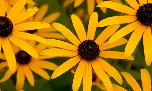 Yellow Flowers Close-up Picture - Yellow Wallpaper hdYellow Black Flowers Wallpaper