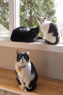 3 cats in the window, a black cat, gray and white cat and a black and white cat