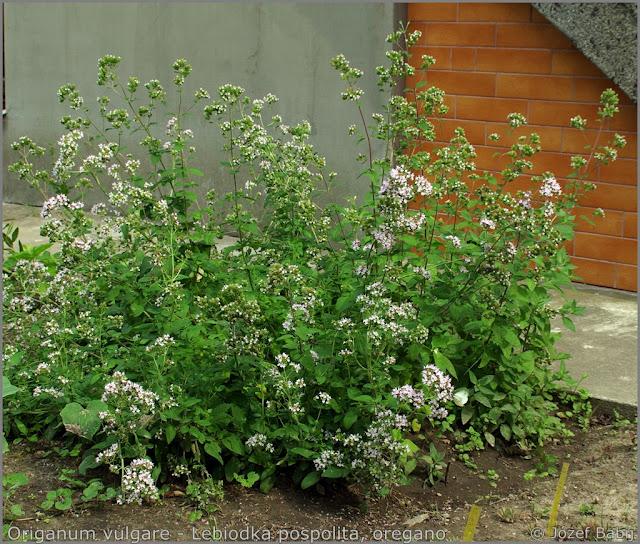 Origanum vulgare - Lebiodka pospolita, oregano
