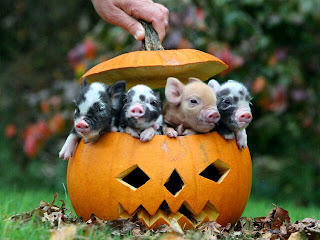little pigs in pumpkin, funny animal pictures, animal pics