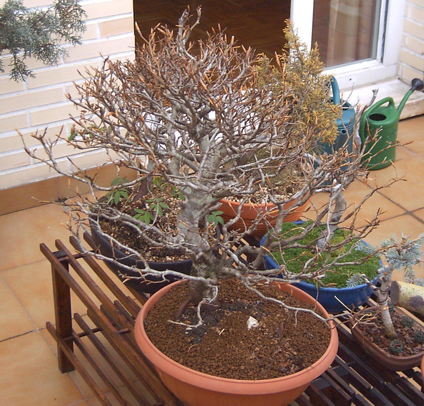 El paso de los a os en los bonsais haya silvestre - Bonsai de haya ...