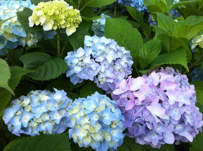 my hingham gardens my 39 endless summer 39 hydrangea i wish. Black Bedroom Furniture Sets. Home Design Ideas