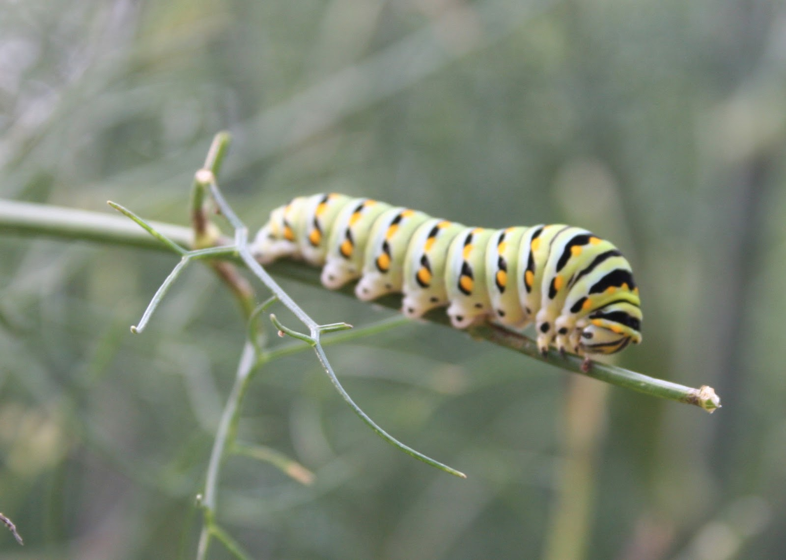 how to get rid of giant swallowtail caterpillars
