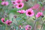 Liste over blomstrende høststauder