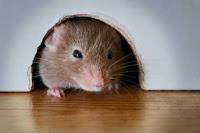 """""""racun tikus rumah"""""""