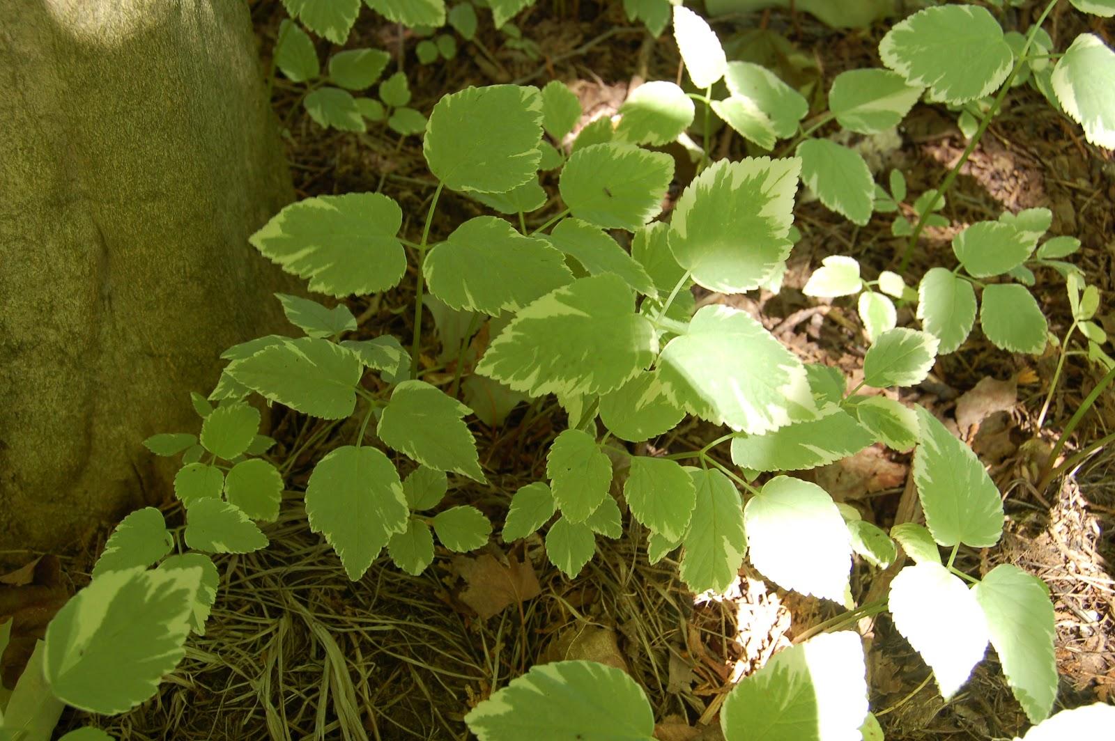3 jardins au qu bec herbe aux goutteux ou herbe aux go teux for Plante verte vivace