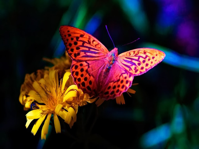 Butterfly Wallpapers Free Download
