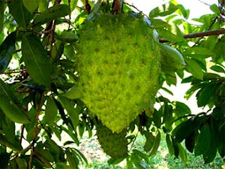 Soursop Fruits