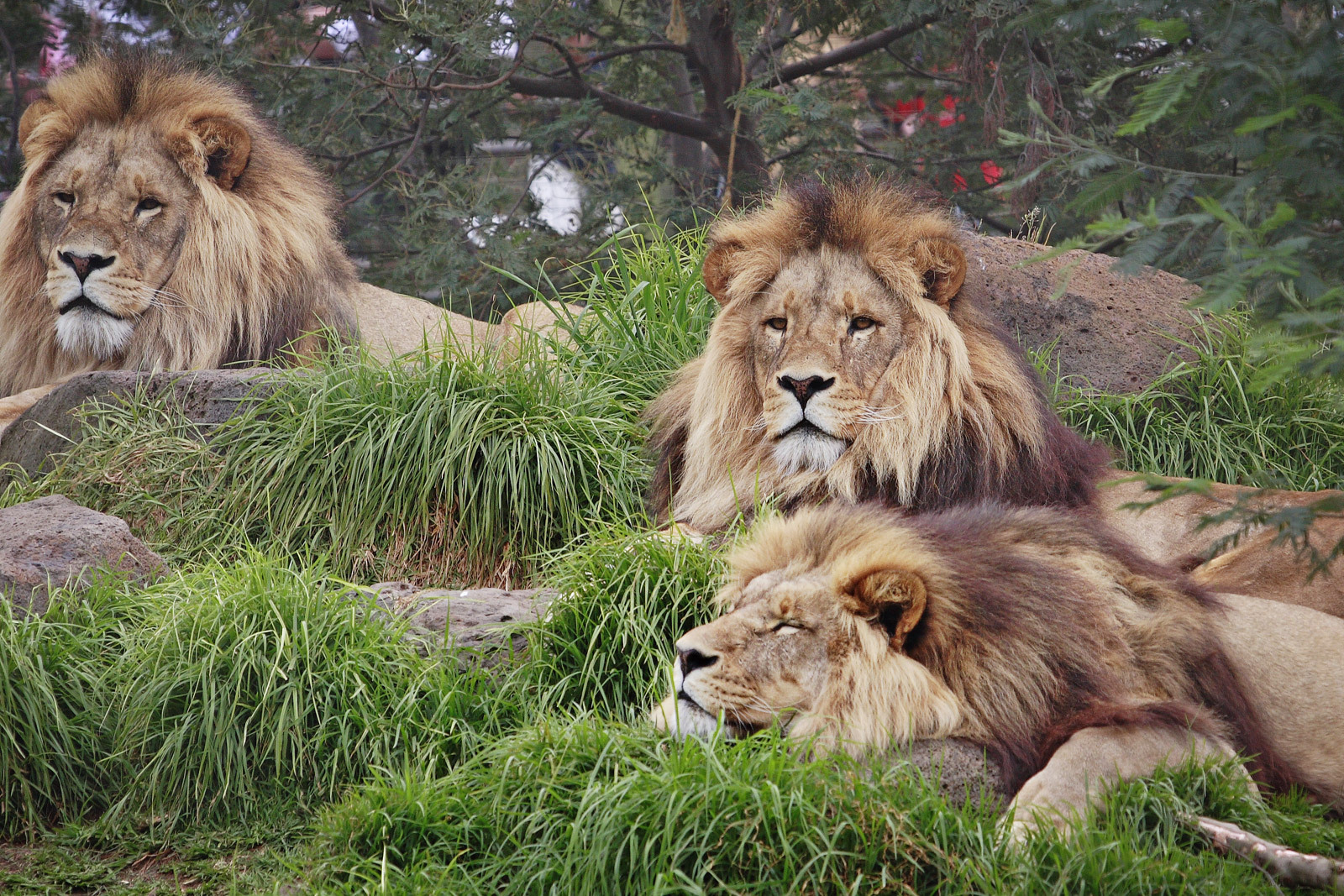 All About Animal Wildlife King Of Jungle Lion Wallpapers Hd 2012