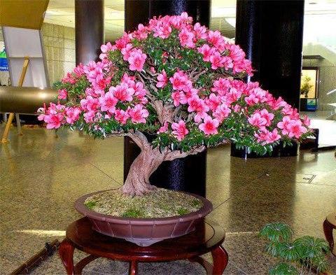 Somos mujeres los peque os arboles bonsai - Tierra para bonsais ...