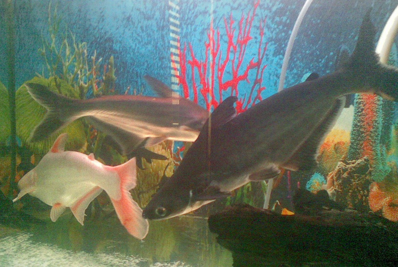 planet animals 2012 shark fish cute fish for pet