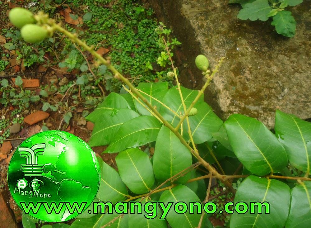 Lengkeng sudah berbuah walau buahnya sedikit, khan pohonnya juga masih kecil, tingginya cuma 40 Cm