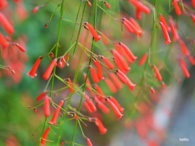 Campanitas rojas - betitu's quest