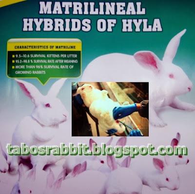 Indukan kelinci Hyla