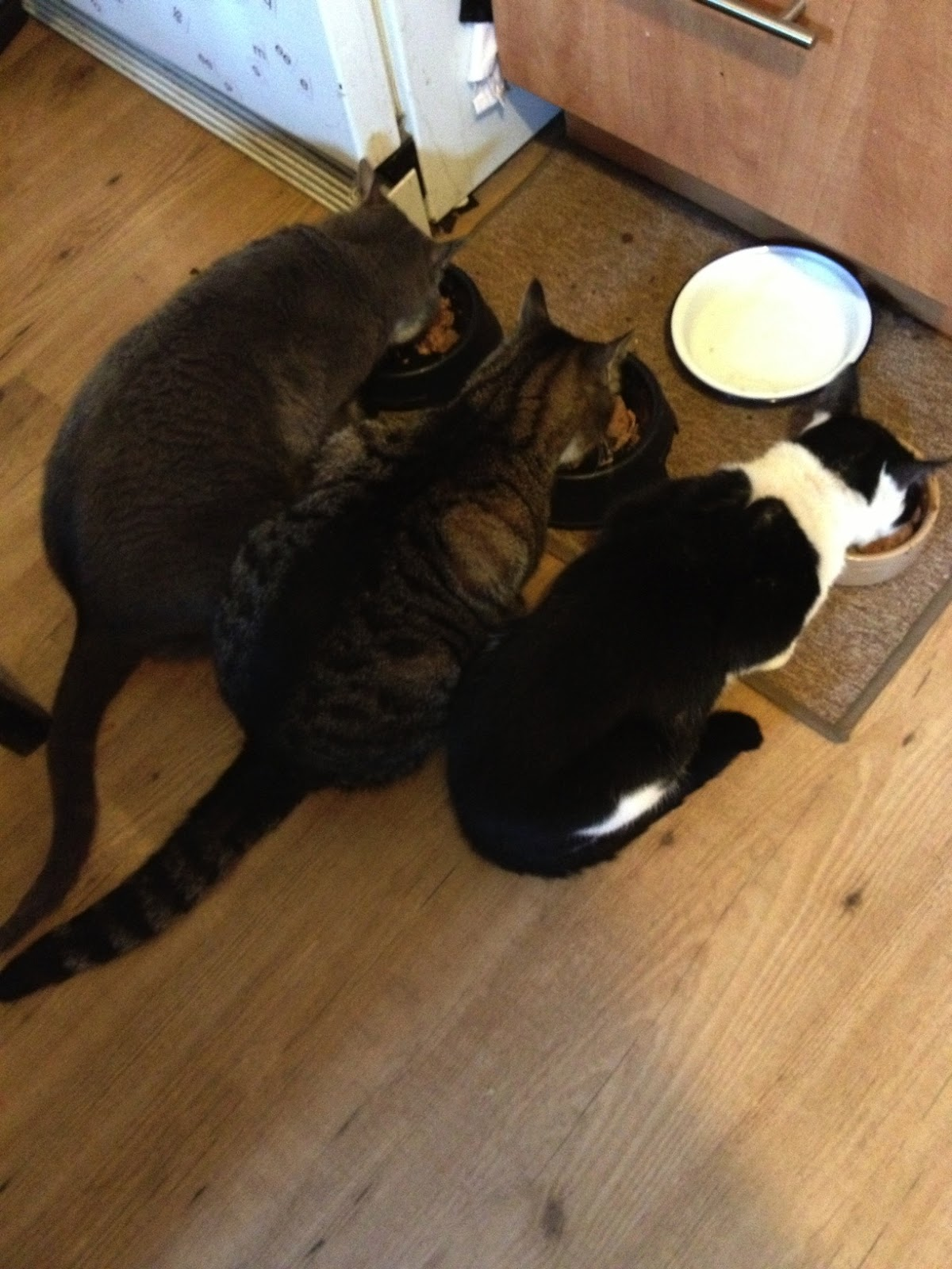 3 cats eating together