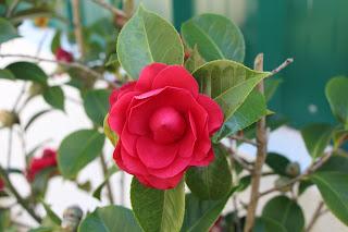 Camélia vermelha-Foto original do JotaV