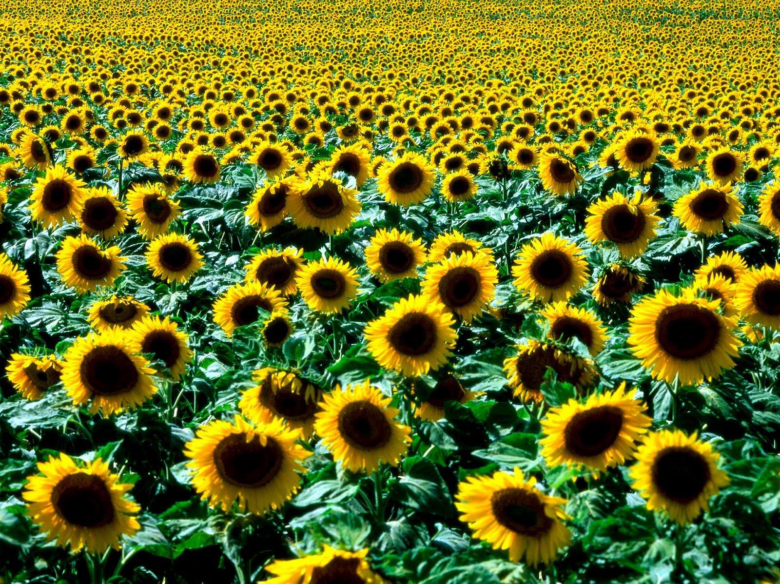 banco de imagenes gratuitas  fotograf u00edas de flores para el