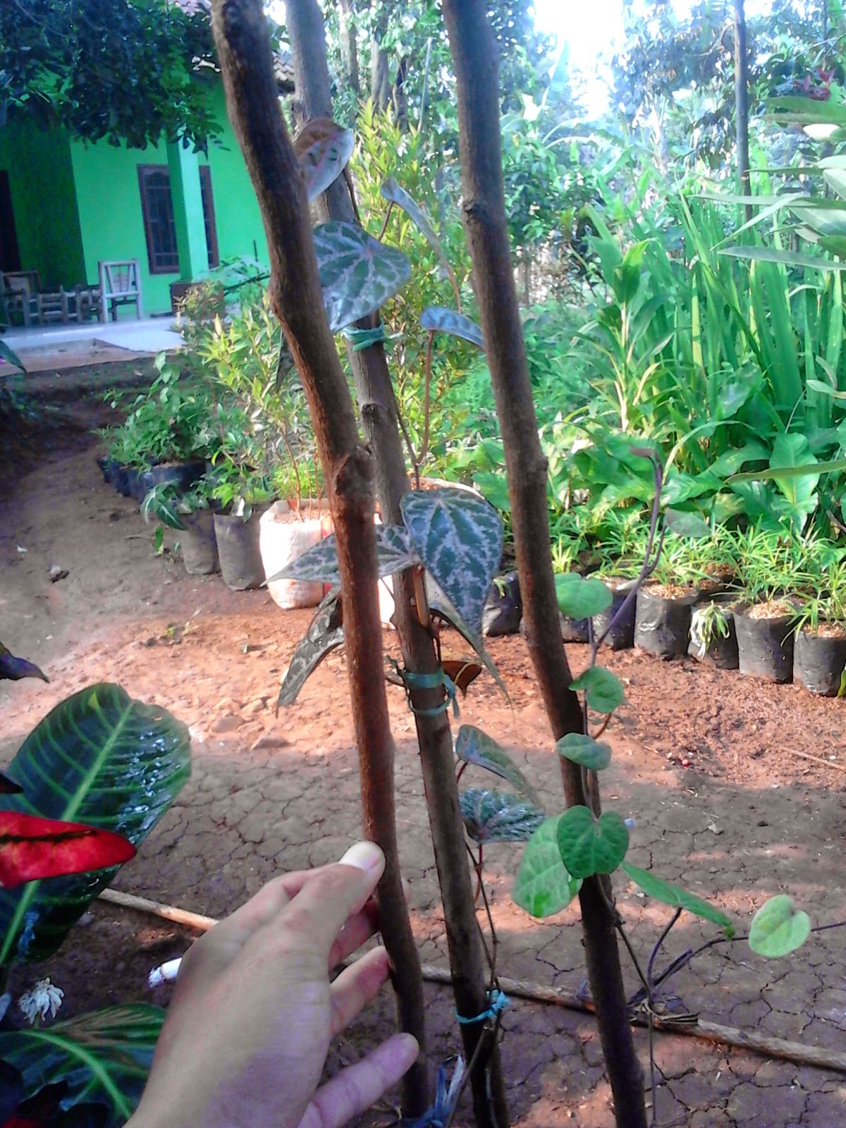 Tips sederhana merawat sirih merah | tanaman obat | tanaman bermanfaat | suplier tanaman | tanaman hias | jasa dsain taman