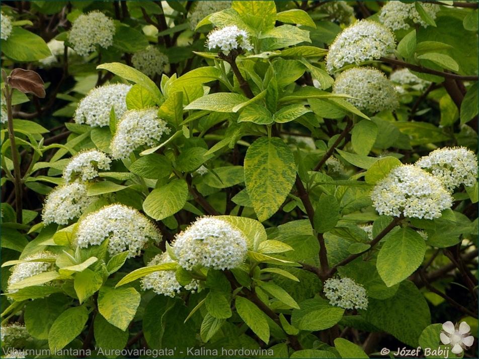 Viburnum lantana 'Aureovariegata' - Kalina hordowina 'Aureovariegata'