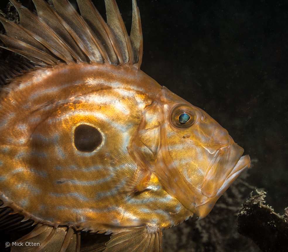Mick 39 s marine biology john dory curious and cosmopolitan for Picture of dory fish