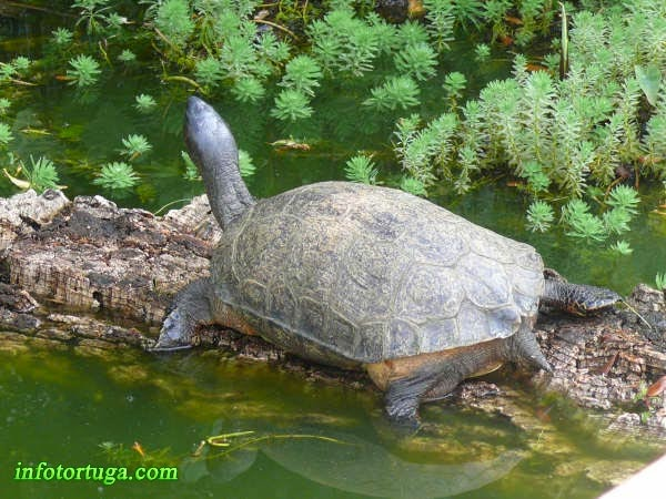Rhinoclemmys funerea - Black wood turtle