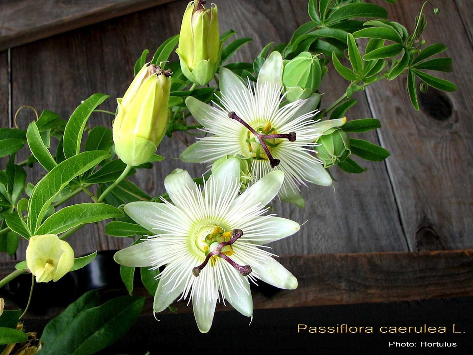 medicinal plants passiflora caerulea. Black Bedroom Furniture Sets. Home Design Ideas