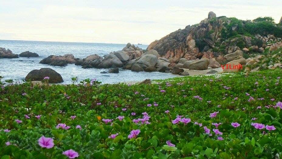 Hoa muống biển ở đảo Bình Ba