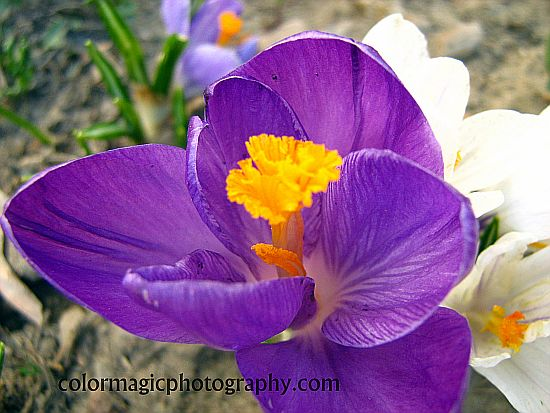 Purple crocus-macro photo
