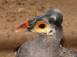 Burung Maleo, Terancam Punah, Terdapat di Sulawesi