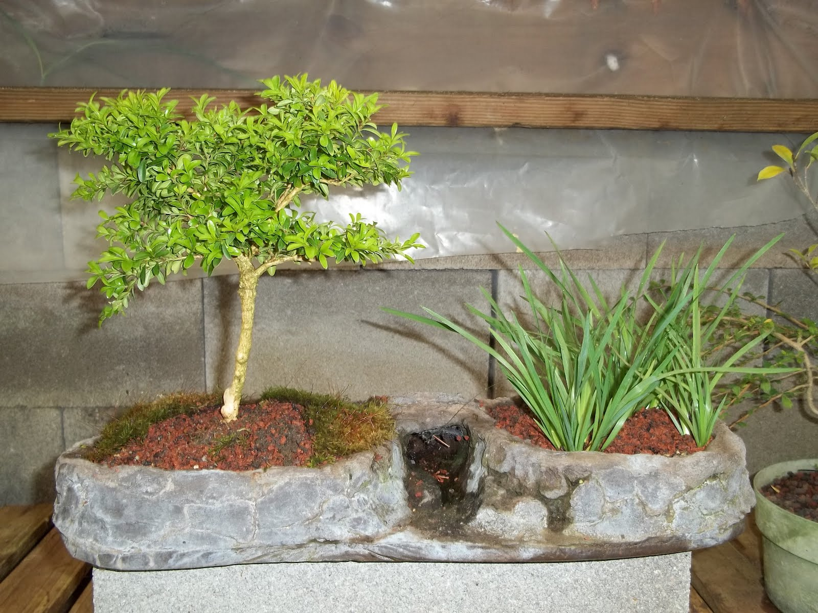 Bent Tree Bonsai April 2012