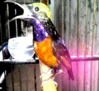 kolibri ninja berkicau