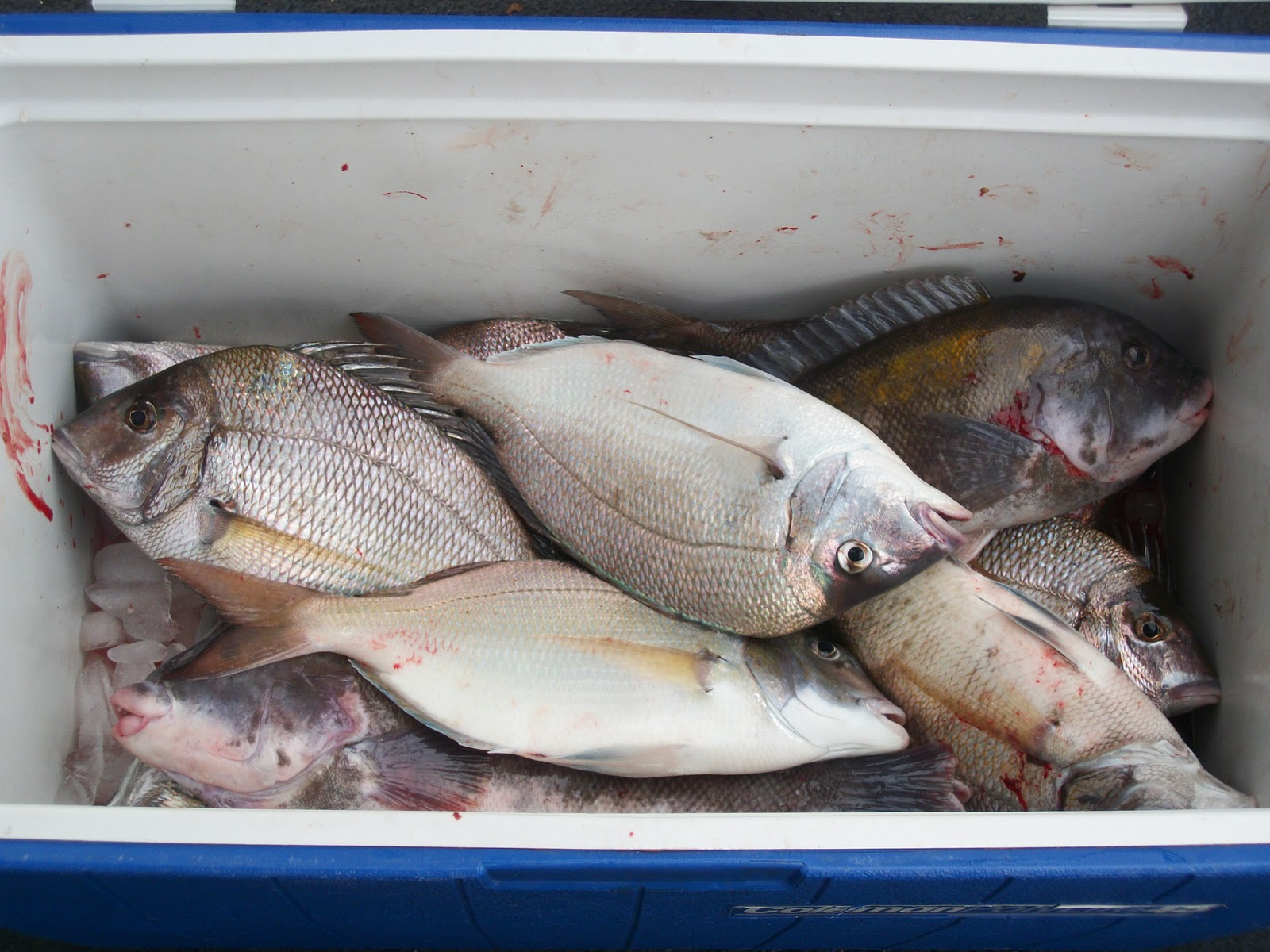 Belmar nj fishing reports captain cal ii 75 39 belmar for Good day for fishing
