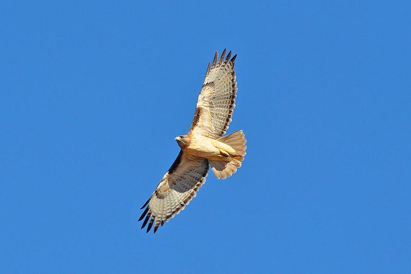 Desert Hawk Animal Leaning Rock Productio...