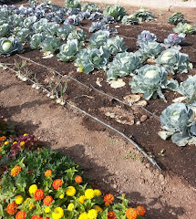 Drip irrigated cabbage in the fall garden