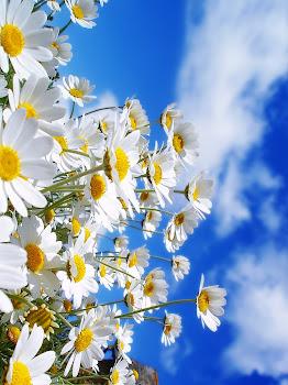Flores  sencillas  y hermosas