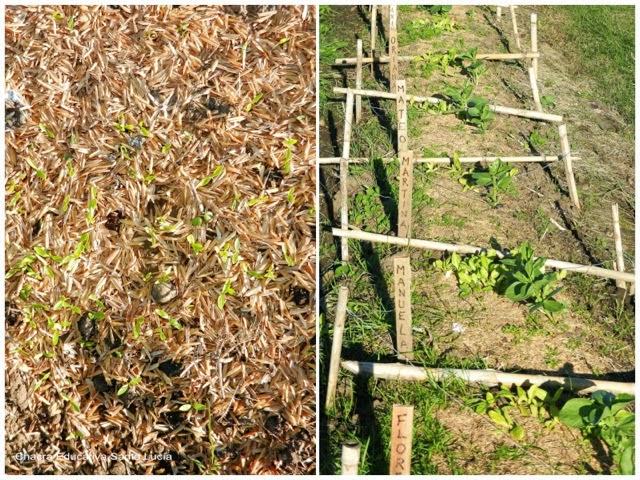 germinación y crecimiento - Chacra educativa Santa Lucía