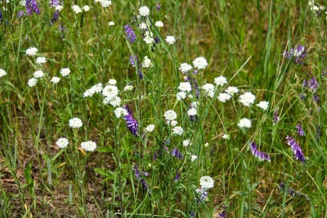 late June prairie wildflowers