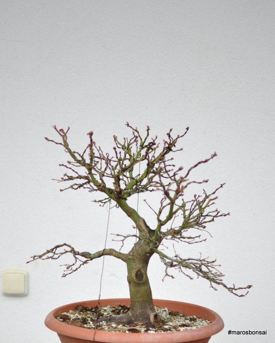 Maros Bonsai Blog Acer Palmatum After Wiring