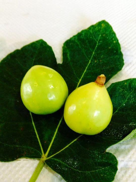 Figs : GOTA DE MEL