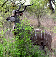 greater kudu with long, curly horns