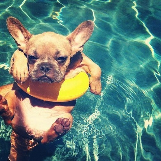 Frenchie In A Pool