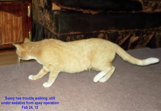 Orange cat fixed