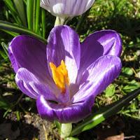 Purple Crocus Open