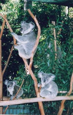 Cuddling a Koala in Brisbane