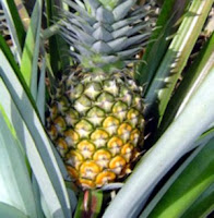 Diseases of Pineapple Plant