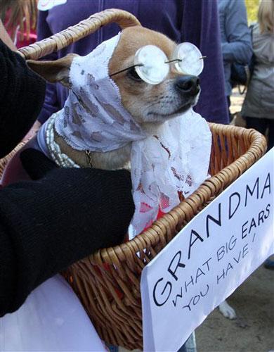 Fotos tiernas y graciosas de perros Chihuahua Razas de  - imagenes chistosas de perros chihuahua
